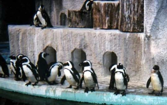 African penguin ueno zoo 1528097093